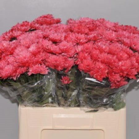 CHRYSANT SPR. EURO RED