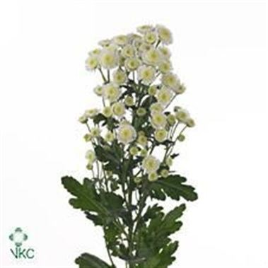 CHRYSANT SPR. STALLION WHITE