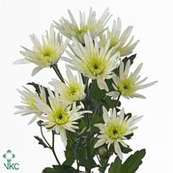 CHRYSANT SPR. delianne white
