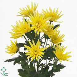 CHRYSANT SPR. delianne yellow