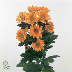 CHRYSANT SPR. woodpecker