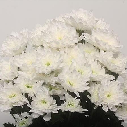 Chrysanthemum spray wholesale flowers uk wedding flowers aalsmeer auction chrysant spr aviator mightylinksfo