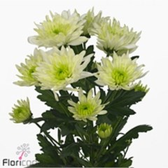 CHRYSANT SPR. BALTICA LIME
