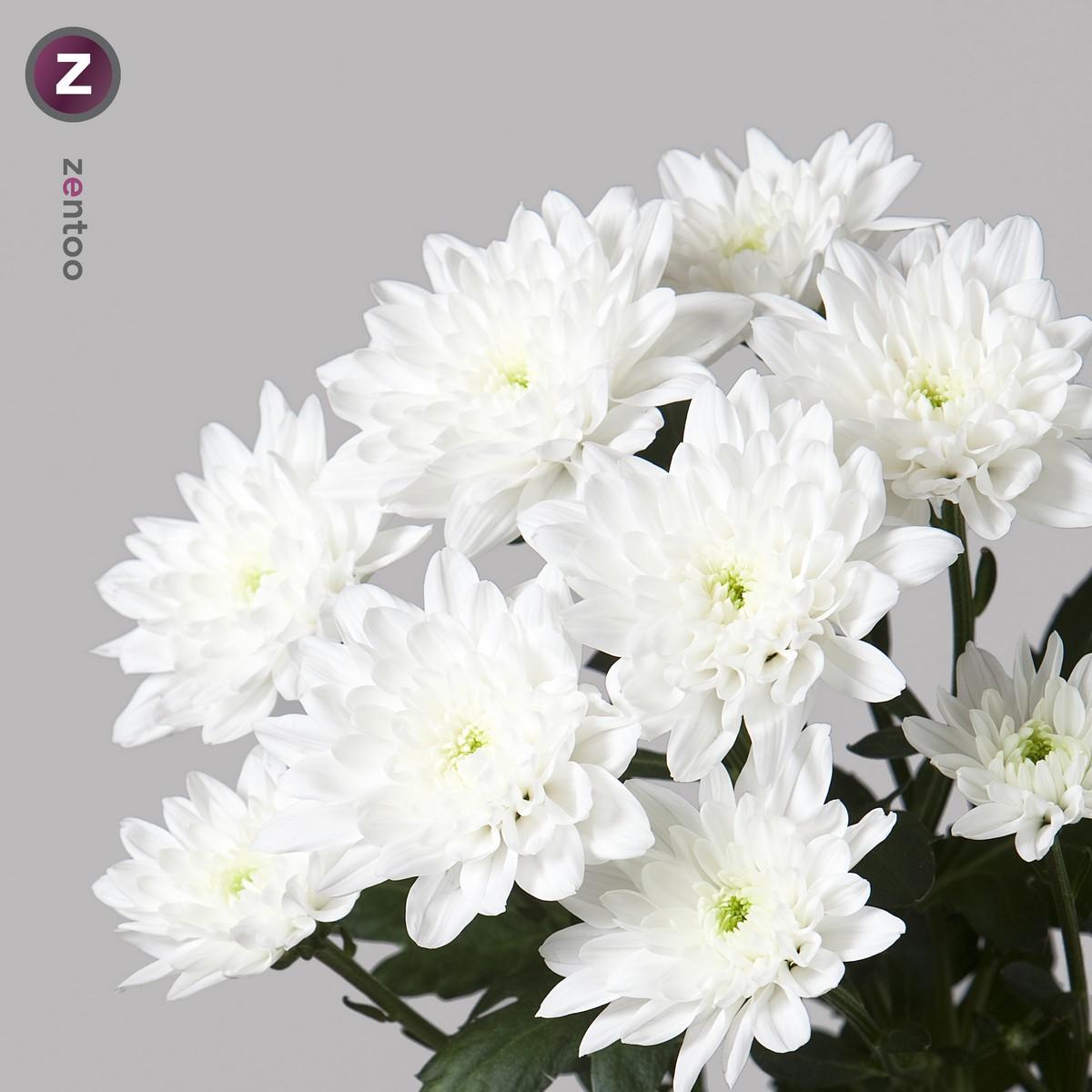 Chrysanthemum spray wholesale flowers uk wedding flowers aalsmeer auction chrysant spr baltica mightylinksfo