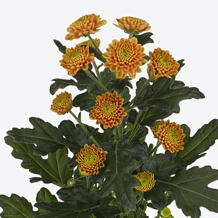 CHRYSANT SAN. DORIA ORANGE