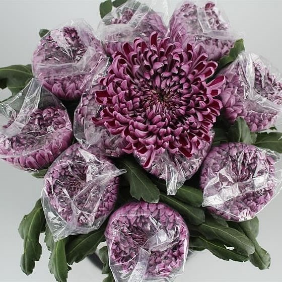CHRYSANT GILBERT LIGHT PURPLE