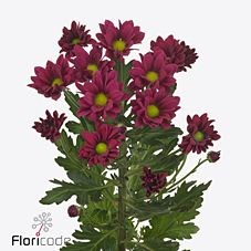 CHRYSANT SPR. PURPLE STAR