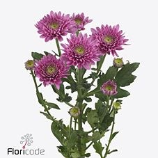 CHRYSANT SGL. ROMANCE PURPLE