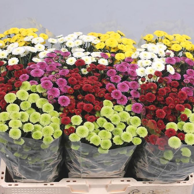 CHRYSANT SAN. CALIMERO MIX (COLS MAY VARY)