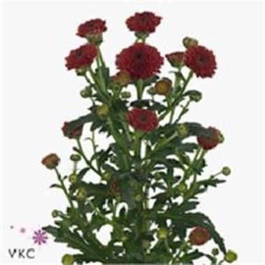 CHRYSANT SAN. CALIMERO RED