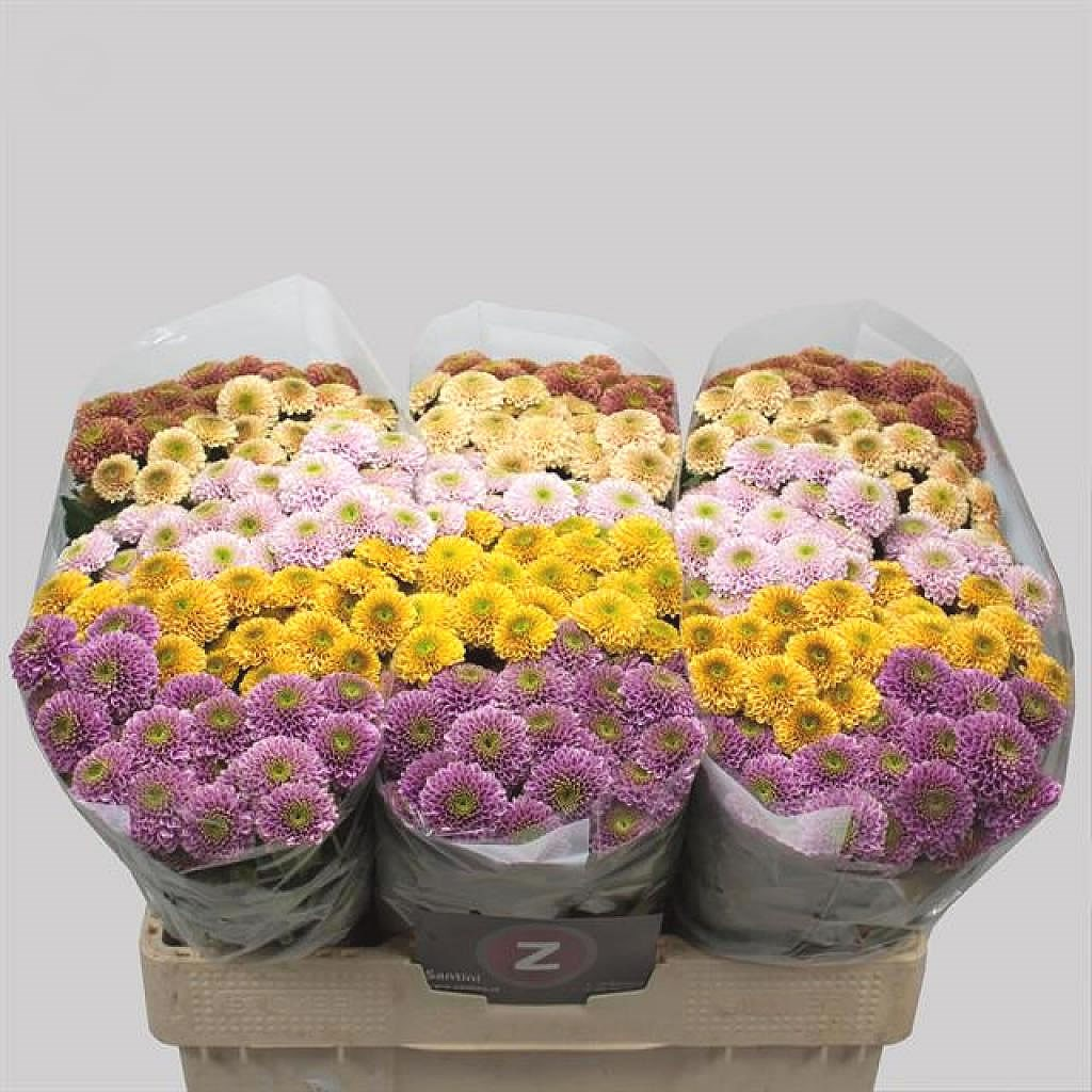 CHRYSANT SAN. DORIA MIX