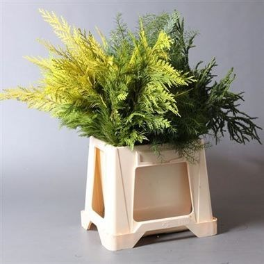 CONIFER - MIXED