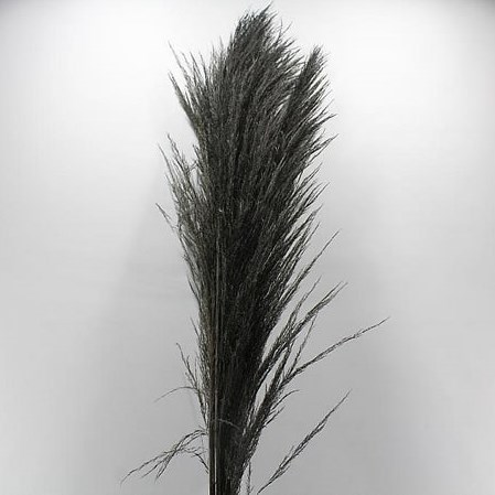 CORTADERIA DYED BLACK (PAMPAS GRASS)