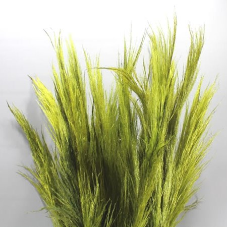 CORTADERIA DYED GREEN (PAMPASS GRASS)