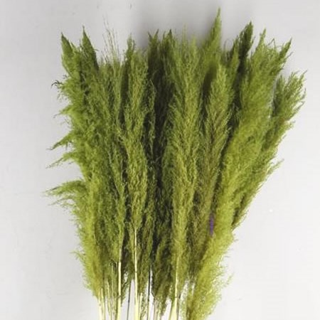 CORTADERIA PAMPAS DYED APPLE GREEN