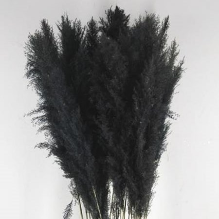 CORTADERIA PAMPAS DYED BLACK