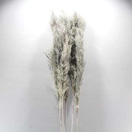 CORTADERIA PAMPAS DYED GREY