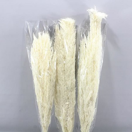 CORTADERIA PRESERVED & BLEACHED (PAMPAS GRASS)