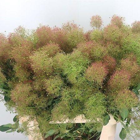 COTINUS GREEN FOUNTAIN