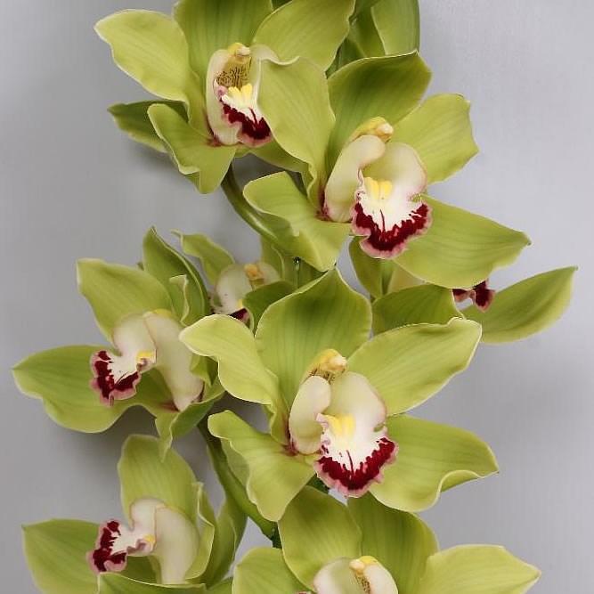 Unique Green Cymbidium Orchid Seeds Elegant Flower Plant Ornamental Flowers Garden 100 Pcs China