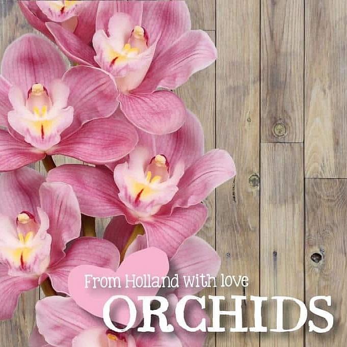 Pink Cymbidium Orchid Stock Photo 44093747