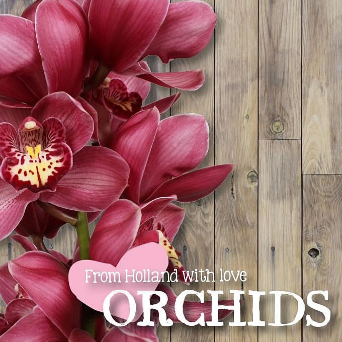 CYMBIDIUM ORCHID BIG BERRY LOVE