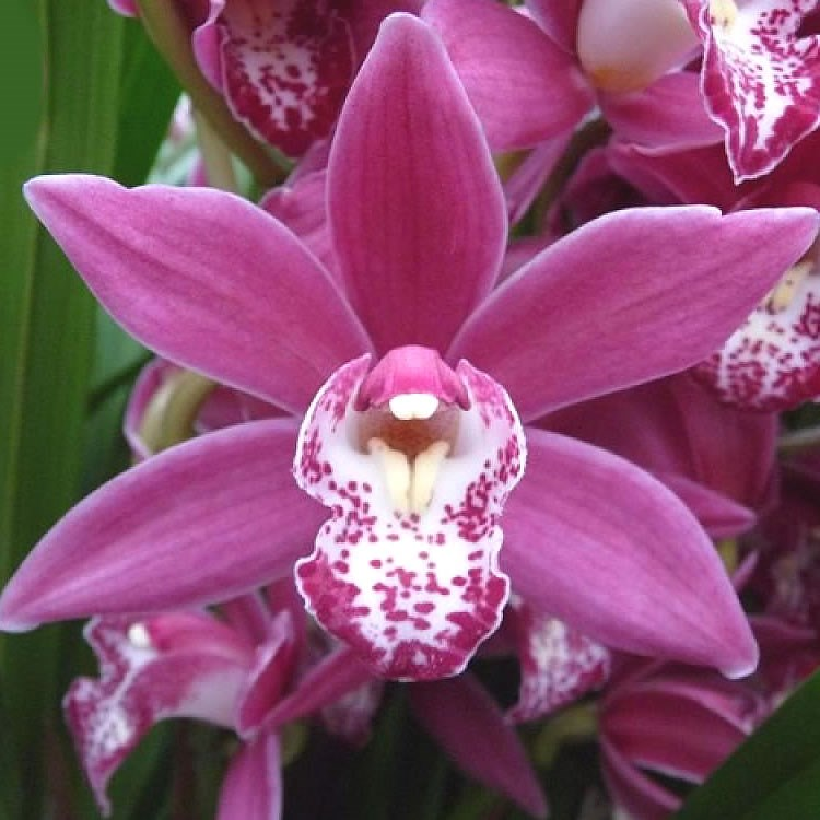 CYMBIDIUM ORCHID CHRISTMAS ROSE