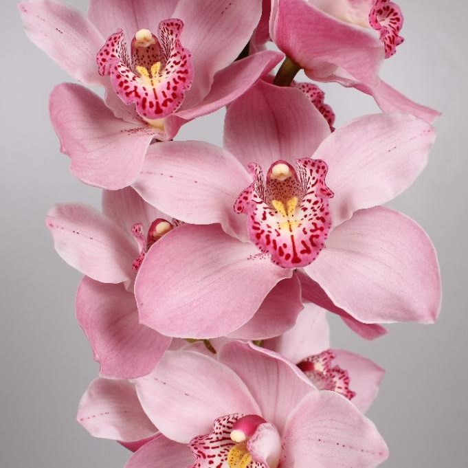 CYMBIDIUM ORCHID CINDY
