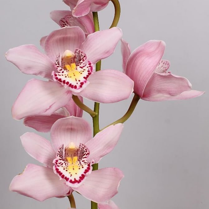 CYMBIDIUM ORCHID COCKTAIL