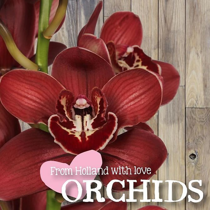 CYMBIDIUM ORCHID FLAMEFLOR LOVE