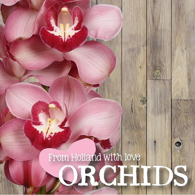 CYMBIDIUM ORCHID FREEKE LOVE