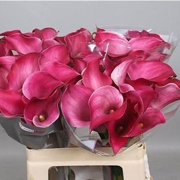 CALLA LILY PINK JEWEL