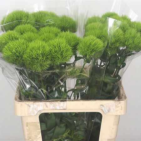 Carnation Green Trick XL
