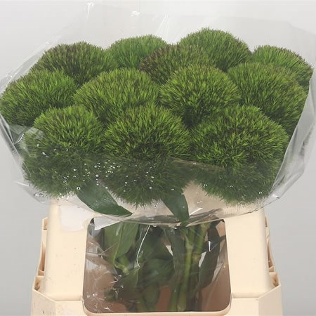 Carnation Kiwi Cherry (Extra)