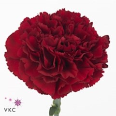 Carnation Zurigo