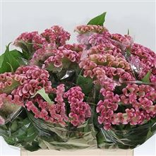 Celosia cr bombay pink