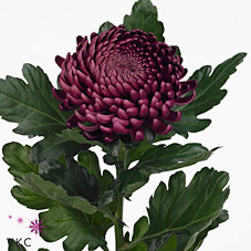 Chrysant sgl. Bigoudi Purple