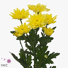 Chrysant spr. Baltica Yellow