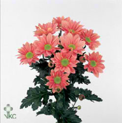 Chrysant spr. grand salmon