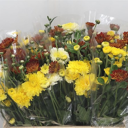 Chrysant Mix (grown outside)