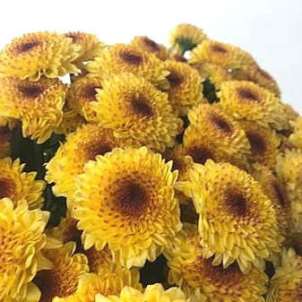 Chrysant Spr. Abbey Yellow