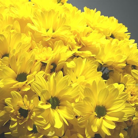 Chrysant Spr. Celebrate