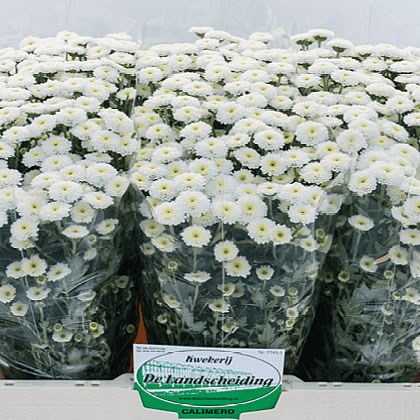 Chrysant san. Calimero Snow