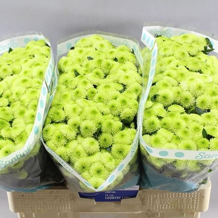 Chrysant san. Country Lime