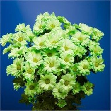 Chrysant spr. Reagan Dyed Green