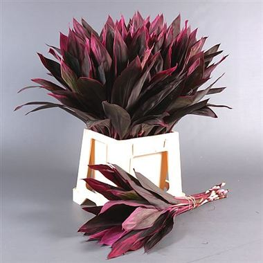 Cordyline Red leaf (50 stems)