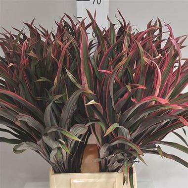Cordyline Chicken Tail
