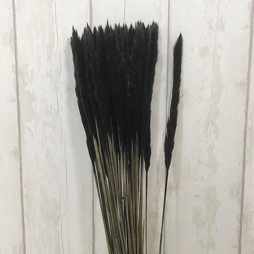 A1 Cortaderia Mini Pampas Grass Dyed Black
