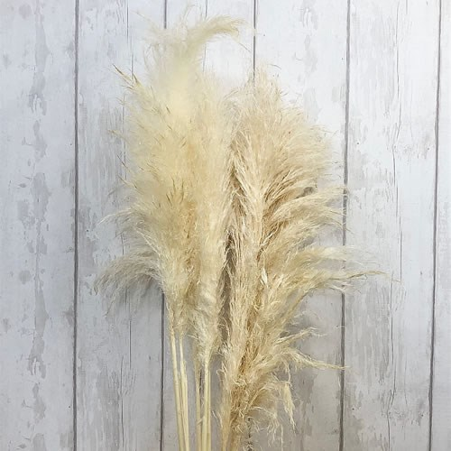 A1 Cortaderia Pampas Bleached (Dried)