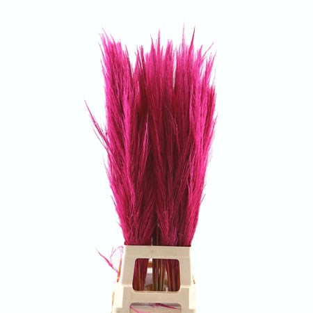 Cortaderia Pampas Grass Dyed Cerise
